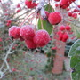 November_frosted_crab_apples_2010