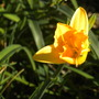 Golden-Yellow Daylily Flower  (Golden-Yellow Daylily Flower)