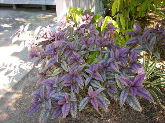 Strobilanthes dyerianus - Persian Shield (Strobilanthes dyerianus - Persian Shield)
