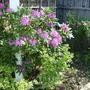 Rhododendron - Back Garden