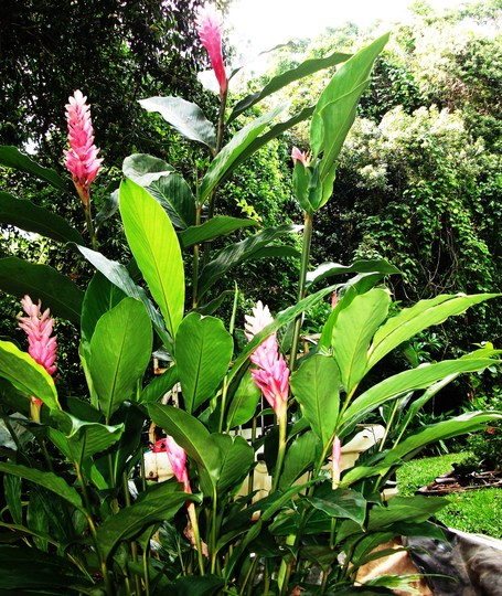 Alpinia purpurata pink form (Alpinia purpurata pink form)