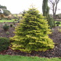 Abies nordmanniana &#x27;Golden Spreader&#x27; (Abies nordmanniana)