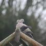 2 Headed Dove!!