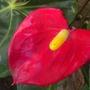 Anthurium andraeanum - Dark Red Anthurium (Anthurium andraeanum - Dark Red Anthurium)