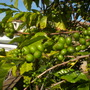 Coffea arabica - Coffee Tree with young coffee cherries (Coffea arabica - Coffee Tree)