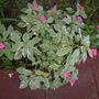 Variegated Impatiens with pink flowers (Variegated Impatiens)