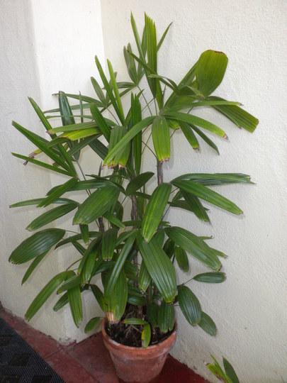 Rhapis excelsa - Lady Palm (Rhapis excelsa - Lady Palm)