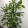 Rhapis excelsa - Lady Palm (Rhapis excelsa - Lady Palm)