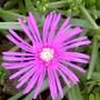 Hardy Ice plant Delosperma Cooperi (Delosperma cooperi (Hardy Ice Plant))