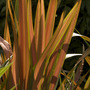 Phormium at Winsford Walled Gardens