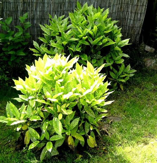 Aucuba shrubs with plenty of new growth (Aucuba japonica (Aucuba))
