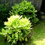 Aucuba shrubs with plenty of new growth (Aucuba japonica (Aucuba))