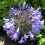 Agapanthus_5th_august_2007