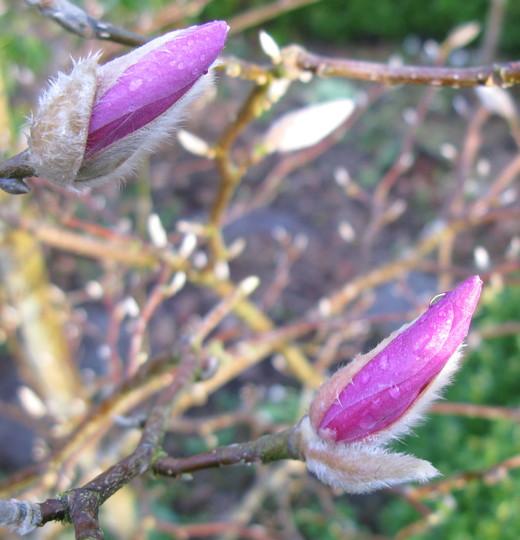 Opening magnolias