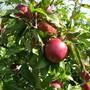 Sweet_eating_apples_september_07