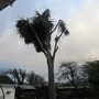 The death of a yucca?