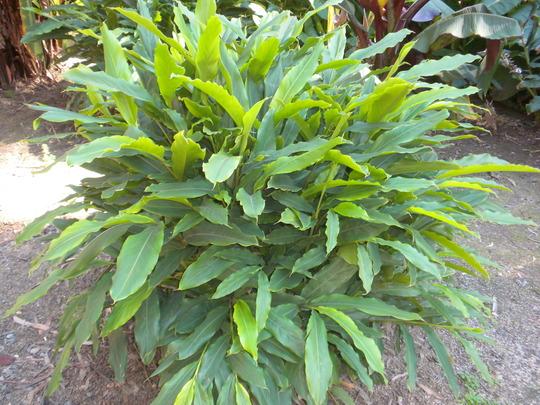 Cardamon (Elettaria cardamomum) (Elettaria cardamomum)
