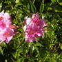 Podranea ricasoliana - Pink Trumpet Vine