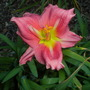 Beautiful Daylily in Balboa Park, San Diego, CA (Hemerocallis hybrid)