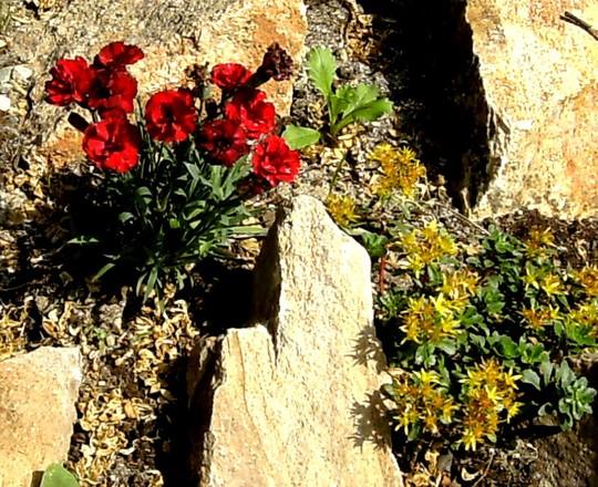 Red rockery Dianthus.