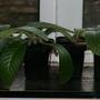 Streptocarpus_cuttings