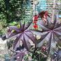 ricinus 002 (Ricinus communis (Castor oil plant))