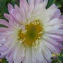 100 2064 double coloured aster