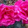 pink stripped rose