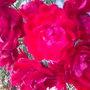 medium sized roses