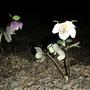 Helleborus rosé