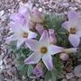 oxalis (oxalis adenophylla)