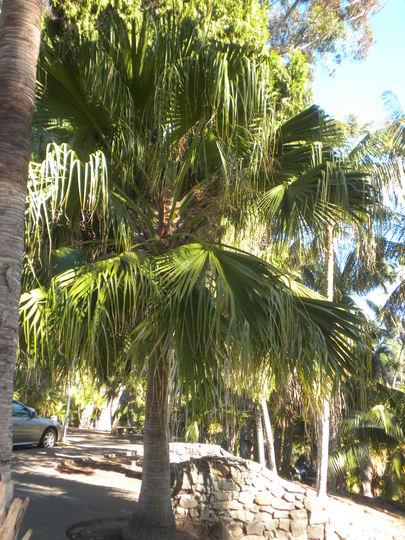 Livistona chinensis - Chinese Fan Palm (Livistona chinensis - Chinese Fan Palm)