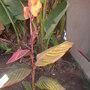 Variegated Canna Blooming (Variegated Canna Blooming)