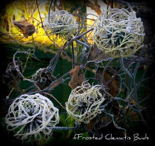 Frosted Clematis Seed Heads