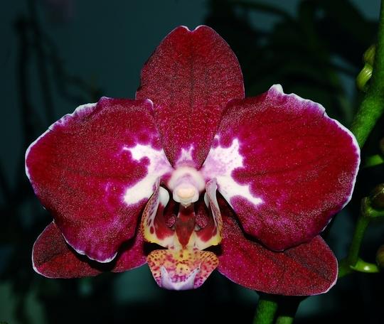 New noid Phalaenopsis (Orchid)