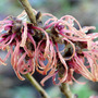 Hamamelis x intermedia 'Robert' (Hamamelis x intermedia 'Robert')