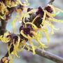Hamamelis x intermedia 'Orange Beauty' (Hamamelis x intermedia 'Orange Beauty')