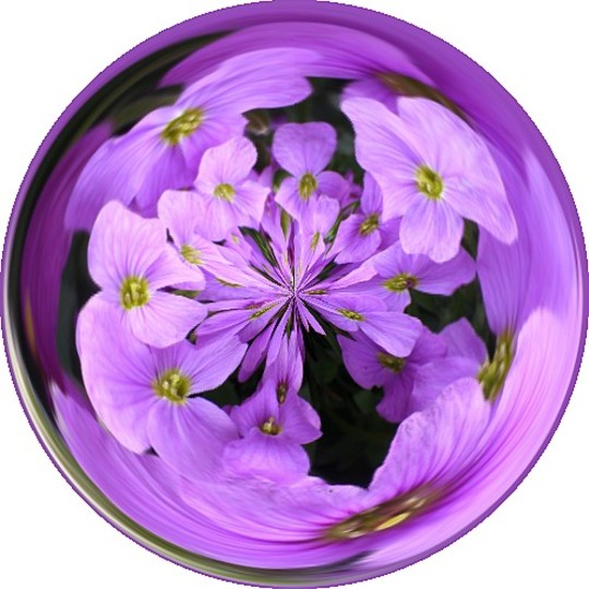 Aubretia in a magic circle