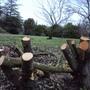 We cut down several trees this month .... 1 (Prunus laurocerasus (Cherry Laurel))