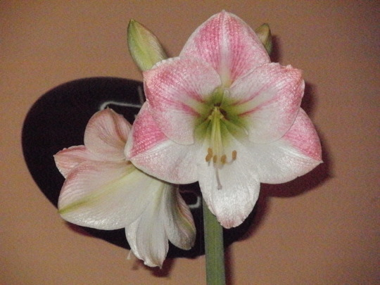 apple blossom part 3 (hippeastrum apple blossom)