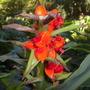 Hedychium gardnerianum - Kahili Ginger