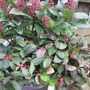Gualtheria (Gaultheria procumbens (Box Berry))