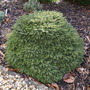 Picea abies 'Horace Wilson' (common name; Norway spruce)