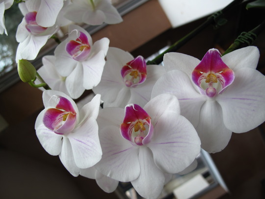 new white orchid