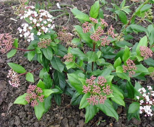 Evergreen shrub Viburnum tinus 'Gwenllian' (Viburnum tinus 'Gwenllian')