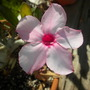 Adenium obesum 'Ice Pink' - Ice Pink Desert Rose