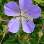 geranium nimbus (Geranium)
