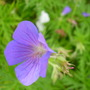 G. Nimbus (Geranium)