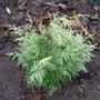 Dwarf Conifer - Chamaecyparis Lawsoniana 'Summer Snow' (Chamaecyparis lawsoniana (Lawson cypress))