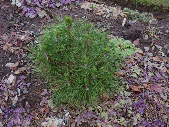 Another Dwarf Conifer....Pinus Densiflora umbraculifera?